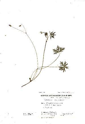 (Geranium columbinum - NMW4290)  @11 [ ] CreativeCommons - Attribution (2012) National Museum Wales National Museum Wales