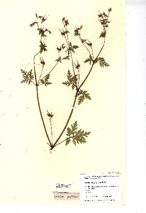 (Geranium purpureum - NMW4300)  @11 [ ] CreativeCommons - Attribution (2012) National Museum Wales National Museum Wales