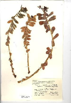 (Sedum rosea - NMW4393)  @11 [ ] CreativeCommons - Attribution (2012) National Museum Wales National Museum Wales