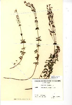 (Hypericum pulchrum - NMW445)  @11 [ ] Unspecified (default): All Rights Reserved  Unspecified Unspecified