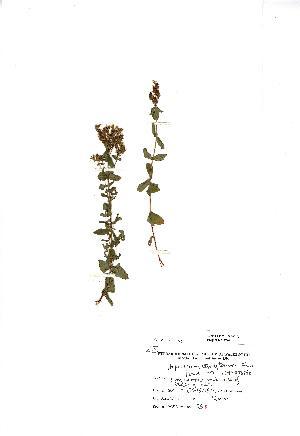 (Hypericum tetrapterum - NMW446)  @11 [ ] Unspecified (default): All Rights Reserved  Unspecified Unspecified