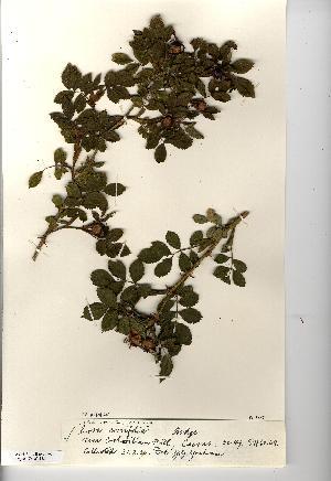 (Rosa caesia - NMW4482)  @11 [ ] CreativeCommons - Attribution (2012) National Museum Wales National Museum Wales
