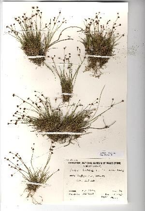 (Juncus bulbosus - NMW453)  @11 [ ] CreativeCommons - Attribution (2012) National Museum Wales National Museum Wales