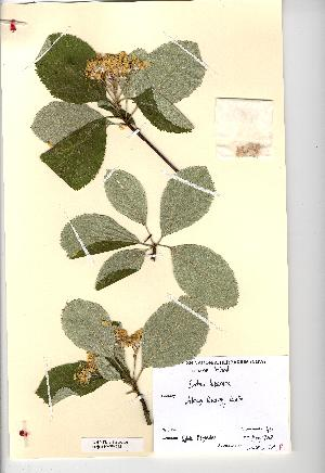 (Sorbus hibernica - NMW4542)  @11 [ ] CreativeCommons - Attribution (2012) National Museum Wales National Museum Wales