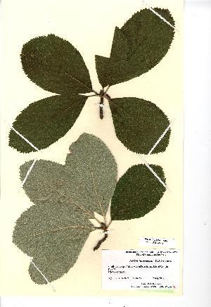 (Sorbus menai-strait - NMW4548)  @11 [ ] CreativeCommons - Attribution (2012) National Museum Wales National Museum Wales