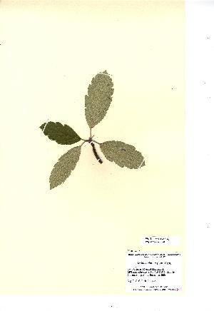 (Sorbus minima - NMW4550)  @11 [ ] CreativeCommons - Attribution (2012) National Museum Wales National Museum Wales