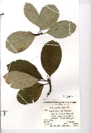(Sorbus rupicola - NMW4554)  @11 [ ] CreativeCommons - Attribution (2012) National Museum Wales National Museum Wales