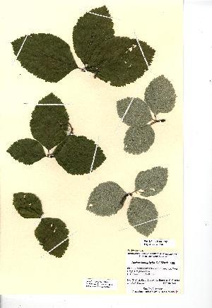 (Sorbus stirtoniana - NMW4558)  @11 [ ] CreativeCommons - Attribution (2012) National Museum Wales National Museum Wales