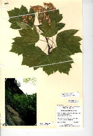 (Sorbus torminalis - NMW4559)  @11 [ ] CreativeCommons - Attribution (2012) National Museum Wales National Museum Wales