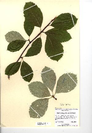 (Sorbus saxicola - NMW4563)  @11 [ ] CreativeCommons - Attribution (2012) National Museum Wales National Museum Wales