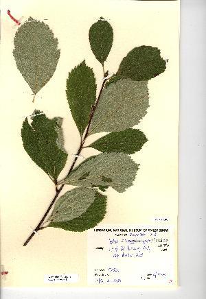 (Sorbus saxicola - NMW4564)  @11 [ ] CreativeCommons - Attribution (2012) National Museum Wales National Museum Wales