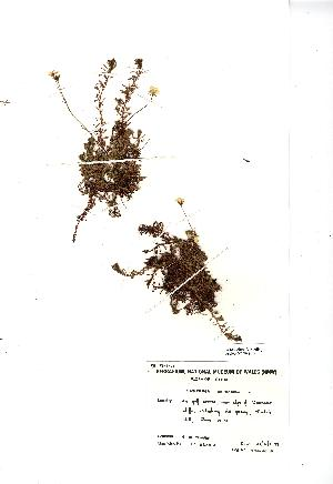 (Saxifraga hypnoides - NMW4578)  @11 [ ] CreativeCommons - Attribution (2012) National Museum Wales National Museum Wales