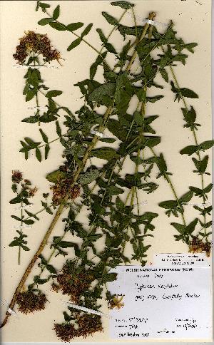 (Hypericum maculatum - NMW5008)  @11 [ ] CreativeCommons - Attribution (2012) National Museum Wales National Museum Wales