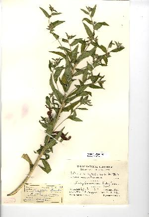(Lithospermum officinale - NMW508)  @11 [ ] Unspecified (default): All Rights Reserved  Unspecified Unspecified