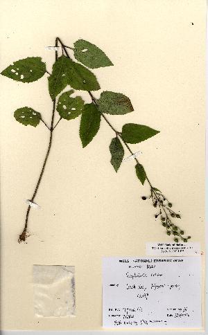 (Scrophularia nodosa - NMW5154)  @11 [ ] CreativeCommons - Attribution (2012) National Museum Wales National Museum Wales