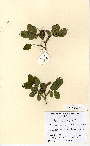 (Rosa caesia - NMW5288)  @11 [ ] CreativeCommons - Attribution (2012) National Museum Wales National Museum Wales