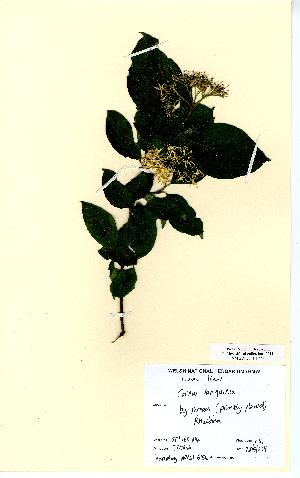 (Cornus sanguinea - NMW6154)  @11 [ ] CreativeCommons - Attribution (2012) National Museum Wales National Museum Wales