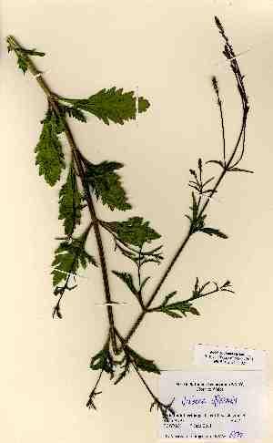 (Verbena officinalis - NMW6372)  @11 [ ] CreativeCommons - Attribution (2012) National Museum Wales National Museum Wales