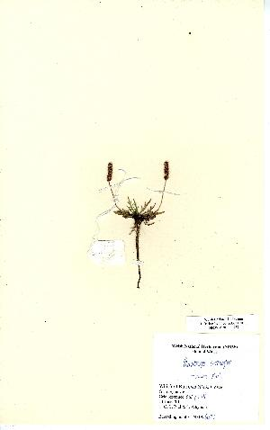 (Plantago coronopus - NMW6423)  @11 [ ] CreativeCommons - Attribution (2012) National Museum Wales National Museum Wales