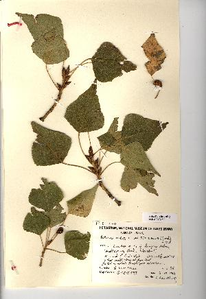 (Populus nigra - NMW650)  @11 [ ] Unspecified (default): All Rights Reserved  Unspecified Unspecified