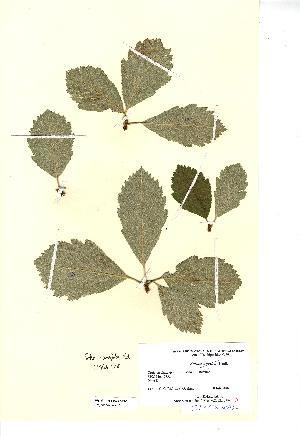 (Sorbus cuneifolia - NMW712)  @11 [ ] CreativeCommons - Attribution (2012) National Museum Wales National Museum Wales