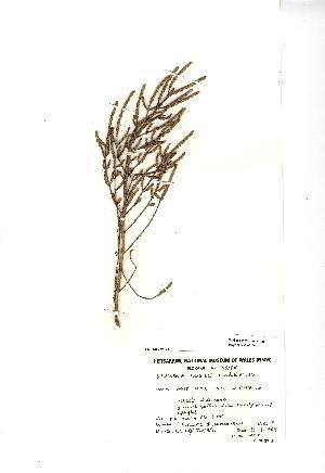 (Salicornia fragilis - NMW746)  @11 [ ] Unspecified (default): All Rights Reserved  Unspecified Unspecified