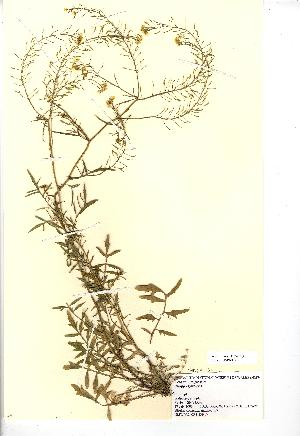 (Rorippa sylvestris - NMW812)  @11 [ ] Unspecified (default): All Rights Reserved  Unspecified Unspecified