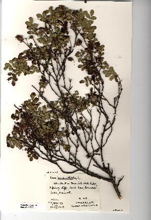 (Rosa pimpinellifolia - NMW820)  @11 [ ] Unspecified (default): All Rights Reserved  Unspecified Unspecified
