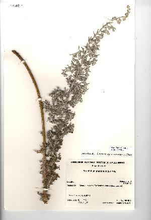 (Seriphidium - NMW838)  @11 [ ] CreativeCommons - Attribution (2012) National Museum Wales National Museum Wales