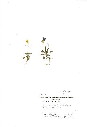 (Viola lutea - NMW900)  @11 [ ] Unspecified (default): All Rights Reserved  Unspecified Unspecified
