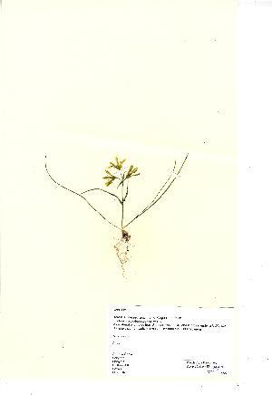 (Gagea bohemica - NMW923)  @11 [ ] CreativeCommons - Attribution (2012) National Museum Wales National Museum Wales