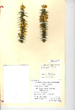 (Ulex gallii - NMW949)  @11 [ ] Unspecified (default): All Rights Reserved  Unspecified Unspecified