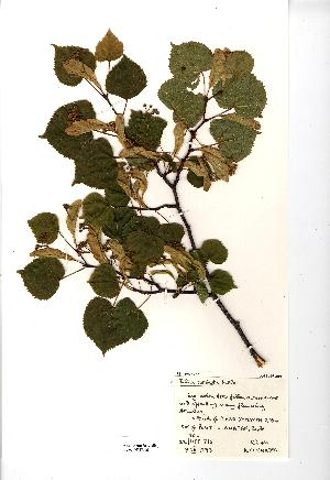 (Tilia cordata - NMW969)  @11 [ ] Unspecified (default): All Rights Reserved  Unspecified Unspecified