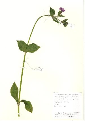 (Silene dioica - NBGW6002)  @11 [ ] Unspecified (default): All Rights Reserved  Unspecified Unspecified