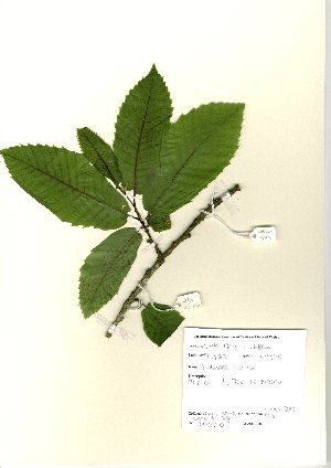 (Castanea sativa - NBGW6013)  @11 [ ] Unspecified (default): All Rights Reserved  Unspecified Unspecified