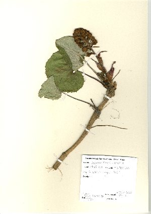 (Petasites - NBGW6022)  @11 [ ] Unspecified (default): All Rights Reserved  Unspecified Unspecified