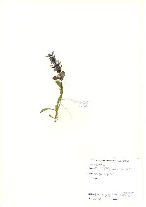 (Ajuga reptans - NBGW6031)  @11 [ ] Unspecified (default): All Rights Reserved  Unspecified Unspecified
