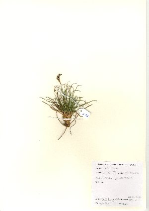 (Juncus squarrosus - NBGW6034)  @11 [ ] Unspecified (default): All Rights Reserved  Unspecified Unspecified