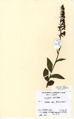 (Epipactis - NMW5069)  @11 [ ] Unspecified (default): All Rights Reserved  Unspecified Unspecified