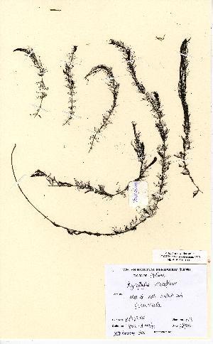 (Myriophyllum alterniflorum - NMW5104)  @11 [ ] Unspecified (default): All Rights Reserved  Unspecified Unspecified