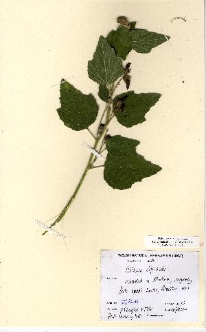 (Althaea - NMW5182)  @11 [ ] Unspecified (default): All Rights Reserved  Unspecified Unspecified