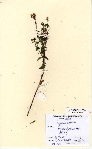 (Hypericum undulatum - NMW5255)  @11 [ ] Unspecified (default): All Rights Reserved  Unspecified Unspecified