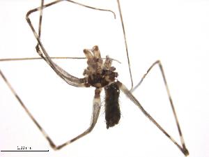 (Psechridae - MSU-IIT EPM00029)  @11 [ ] creative commons – non-commercial only (2014) MSU-IIT MSU-IIT