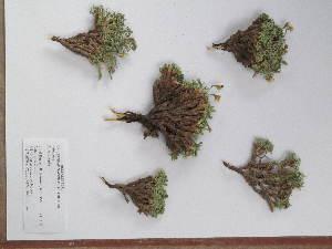 (Anarthrophyllum - BCRU-CBG-VRA 00233)  @11 [ ] Copyright (2016) Romina Vidal Russell Universidad Nacional del Comahue