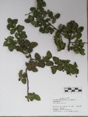 (Nothofagaceae - BCRU-CBG-VRA 00280)  @11 [ ] Copyright (2016) Romina Vidal Russell Universidad Nacional del Comahue