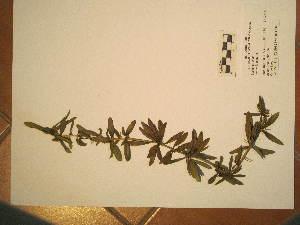 (Berberis linearifolia - BCRU-CBG-VRA 00381)  @11 [ ] Copyright (2016) Romina Vidal Russell Universidad Nacional del Comahue