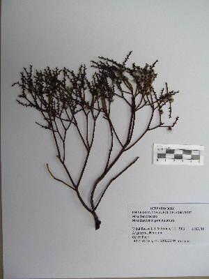 (Misodendraceae - BCRU-CBG-VRA 00388)  @11 [ ] Copyright (2016) Romina Vidal Russell Universidad Nacional del Comahue