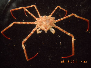(Inachoididae - BOPD_PRIMBA 006)  @15 [ ] by-nc-sa - Creative Commons - Attribution Non-Comm Share-Alike (2014) Unspecified Laboratorio de Zoología de Invertebrados