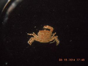 (Coenophthalmus - BOPD_PRIMBA 043)  @11 [ ] by-nc-sa - Creative Commons - Attribution Non-Comm Share-Alike (2014) Unspecified Laboratorio de Zoología de Invertebrados