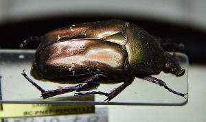 (Protaetia cuprea olivacea - BC-PNEF-PSFOR1129)  @11 [ ] Copyright (2017) Rodolphe Rougerie Museum National d'Histoire Naturelle